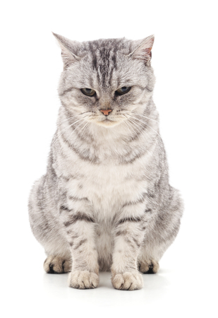 The gray cat isolated on a white background. Stock Photo