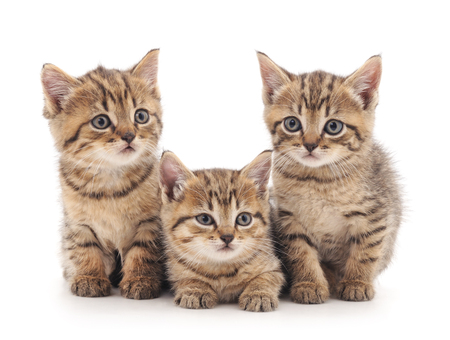 lapin: Three small kittens isolated on a white background.