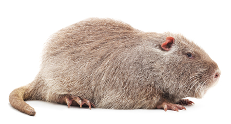 Big nutria isolated on a white background.