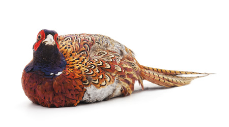 One big pheasant isolated on a white background. Stock Photo