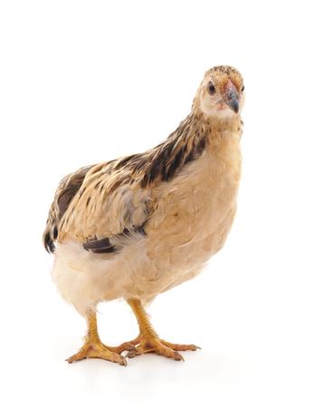 白い背景に孤立した若い茶色の鶏。 写真素材