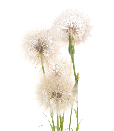 Four large blowball isolated on a white background.
