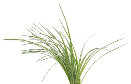 Struik van groene zegge die op een witte achtergrond wordt geïsoleerd. Stockfoto