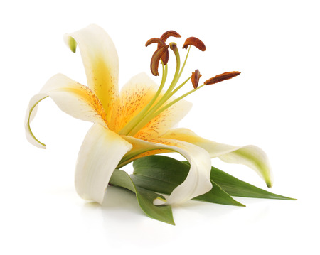 White lily with leaves isolated on a white background.