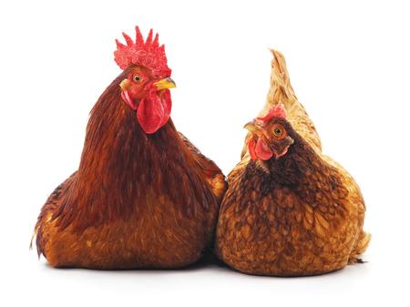 白い背景に隔離された鶏とコック。