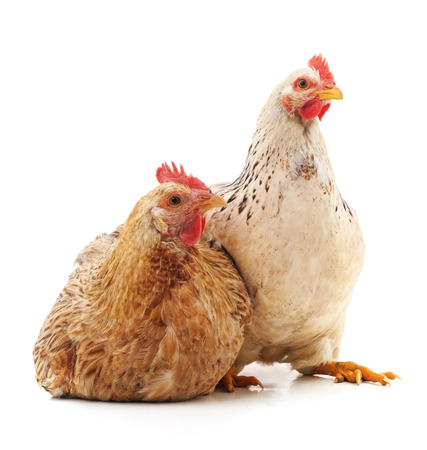 Two young chickens isolated on a white background.