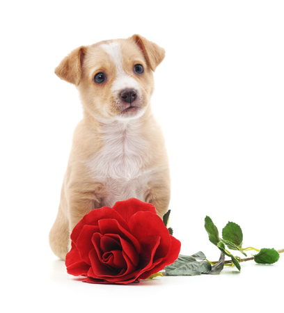 Puppy with a rose isolated on a white background.