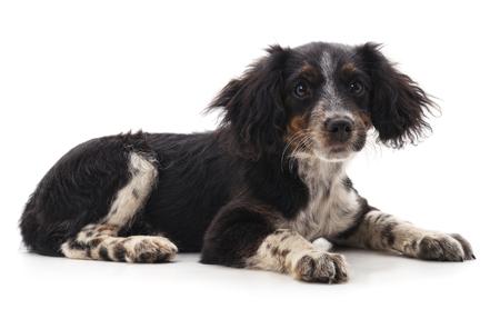 One black dog isolated on a white background.