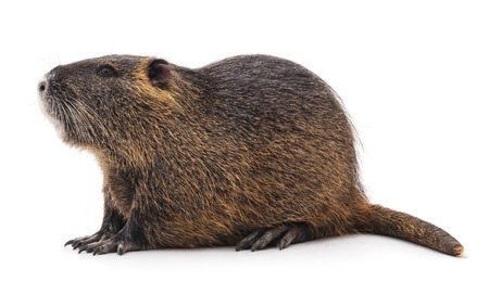 One big nutria isolated on a white background.