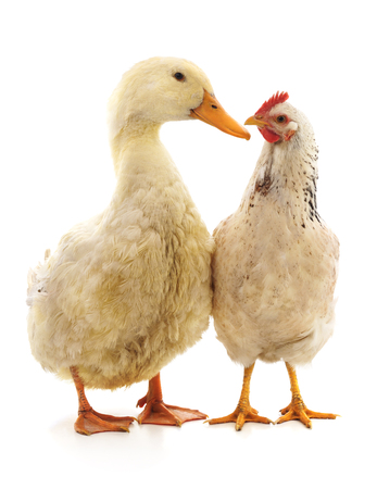 White duck and chicken isolated on a white background.