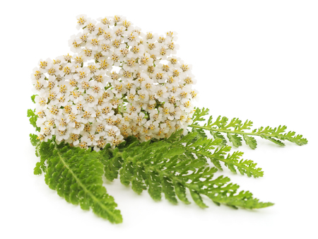 White inflorescences with leaves isolated on a white background. Standard-Bild