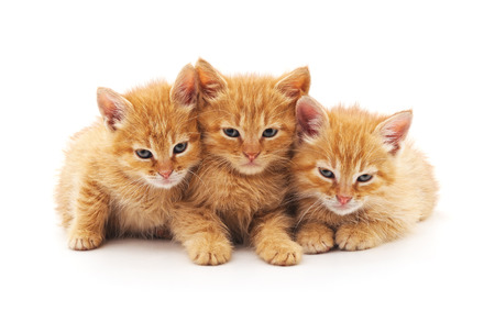 Three brown kittens isolated on a white background. Reklamní fotografie