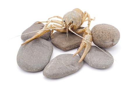 White crayfish on the stone isolated on a white background.