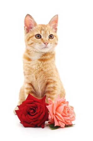 Brown kitten and roses isolated on a white background.