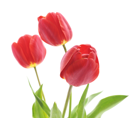 Bouquet of red tulips isolated on a white background.