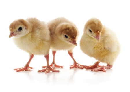 Three young turkeys isolated on a white background.
