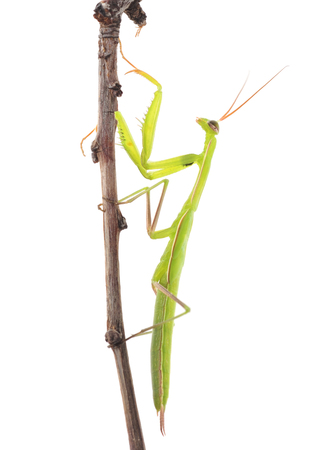 Large green mantis isolated on a white background. Archivio Fotografico