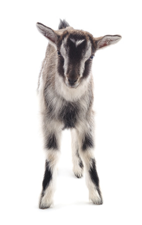 Little gray goat isolated on a white background. Stock fotó
