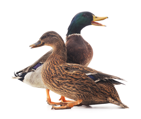 Large wild ducks isolated on a white background. Banque d'images