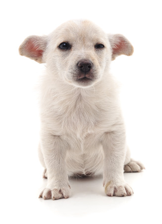White nice puppy isolated on a white background.