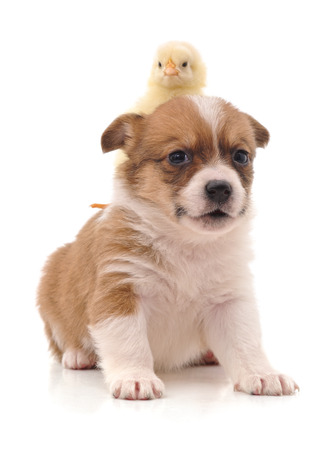 Cute puppy and yellow chicken isolated on a white background.