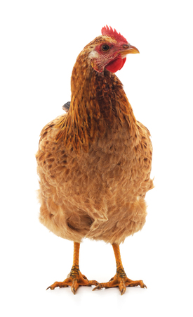 Young brown chicken isolated on a white background.