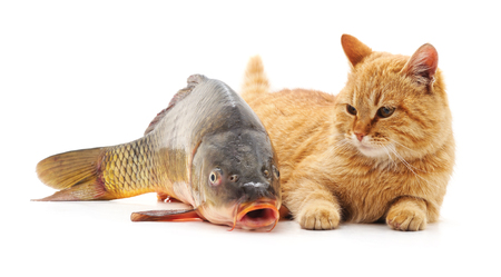 Cat and big fish isolated on a white background.