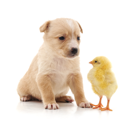 Puppy and chicken isolated on a white background. Reklamní fotografie