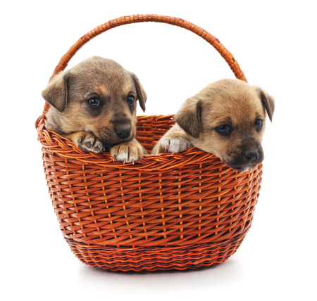 Puppies in a basket isolated on a white background.
