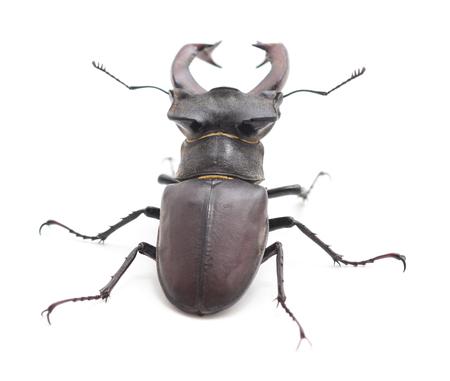 Large black beetle on a white background. Stock Photo