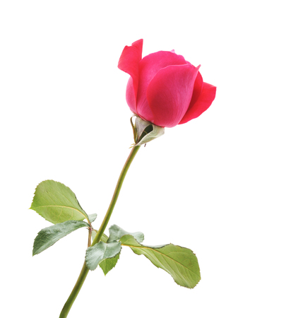 One red rose isolated on a white background. Imagens