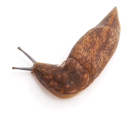 One large snail isolated on a white background. Imagens