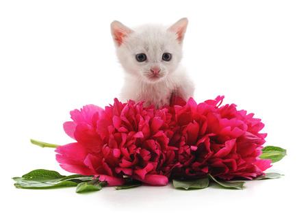 Czerwone piwonie i biały kot na białym tle na białym tle. Zdjęcie Seryjne
