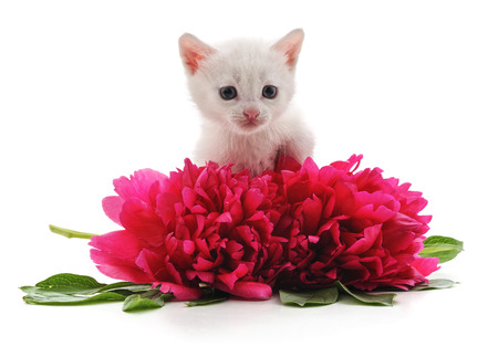 Red peonies and white cat isolated on a white background. Фото со стока