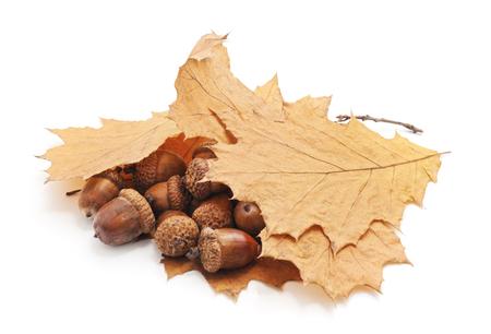Acorns under autumn leaves isolated on a white background. Stockfoto