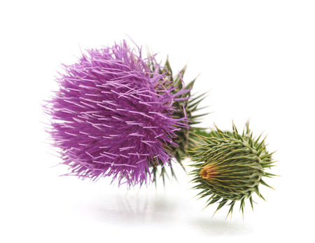 Beautiful flowering thistles isolated on a white background. 版權商用圖片