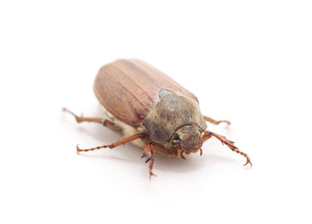 One brown beetle isolated on a white background.