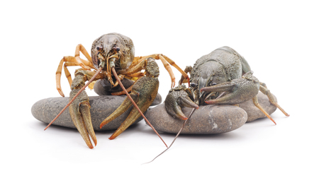 Two river crayfish on the stones isolated on a white background.