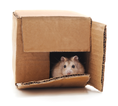 Hamster in a box isolated on a white background.
