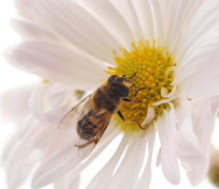 Bee on chamomile isolated on a white background.