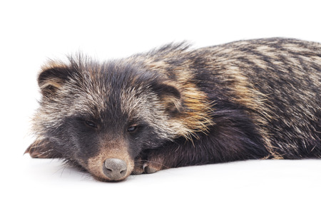 One young raccoon isolated on a white background.