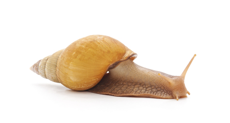 One big snaill isolated on a white background.