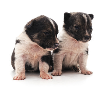 Two little puppies isolated on a white background.