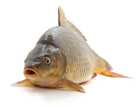 Big fresh carp isolated on a white background. Standard-Bild - 115309098
