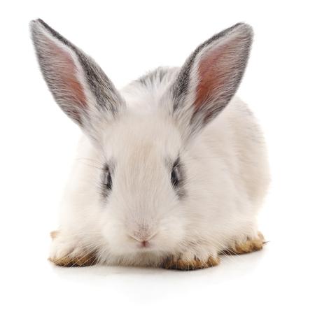 One white rabbit isolated on a white background. Standard-Bild - 115309100