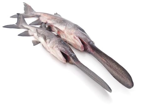 Raw big paddlefish isolated on a white background.