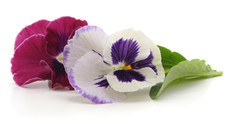 Violet with leaves isolated on white background. Standard-Bild - 115309154