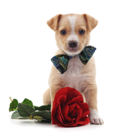Puppy with a rose isolated on a white background. Standard-Bild - 115309168