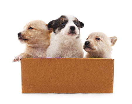 Puppies in the box isolated on a white background.