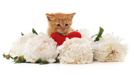 White peonies and red cat isolated on a white background. Standard-Bild - 115309205